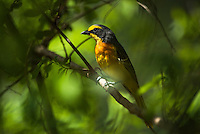 Orange-Breasted Bush Shrike, Satara, Kruger National Park, Limpopo, South Africa,