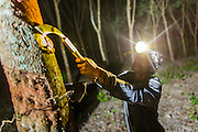 "15 DECEMBER 2014 - CHUM SAENG, RAYONG, THAILAND: WIN, a laborer on a large rubber plantation in eastern Thailand, taps a rubber tree. Rubber trees are tapped at night and the latex collected from the base of each tree in the morning. Thailand is the second leading rubber exporter in the world. In the last two years, the price paid to rubber farmers has plunged from approximately 190 Baht per kilo (about $6.10 US) to 45 Baht per kilo (about $1.20 US). It costs about 65 Baht per kilo to produce rubber ($2.05 US). Prices have plunged 5 percent since September, when rubber was about 52Baht per kilo. Some rubber farmers have taken jobs in the construction trade or in Bangkok to provide for their families during the slump. The Thai government recently announced a ""Rubber Fund"" to assist small farm owners but said prices won't rebound until production is cut and world demand for rubber picks up.        PHOTO BY JACK KURTZ"