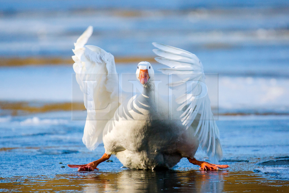 © Licensed to London News Pictures. 03/02/2019. Scarborough UK. A Goose slides across the frozen surface of The Mere as it lands this morning in Scarborough on the Yorkshire coast. Photo credit: Andrew McCaren/LNP