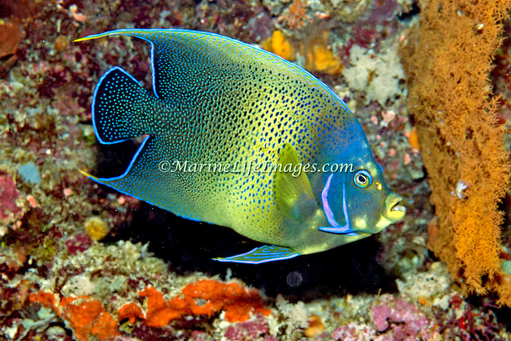 Semicircle Angelfish inhabit reefs. Picture taken North of Alor, Indonesia.