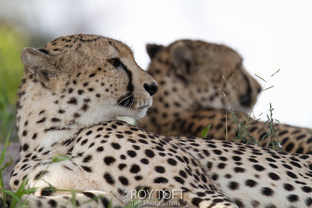A close-up view of a pair of African cheetah relaxing, Botswana, Africa