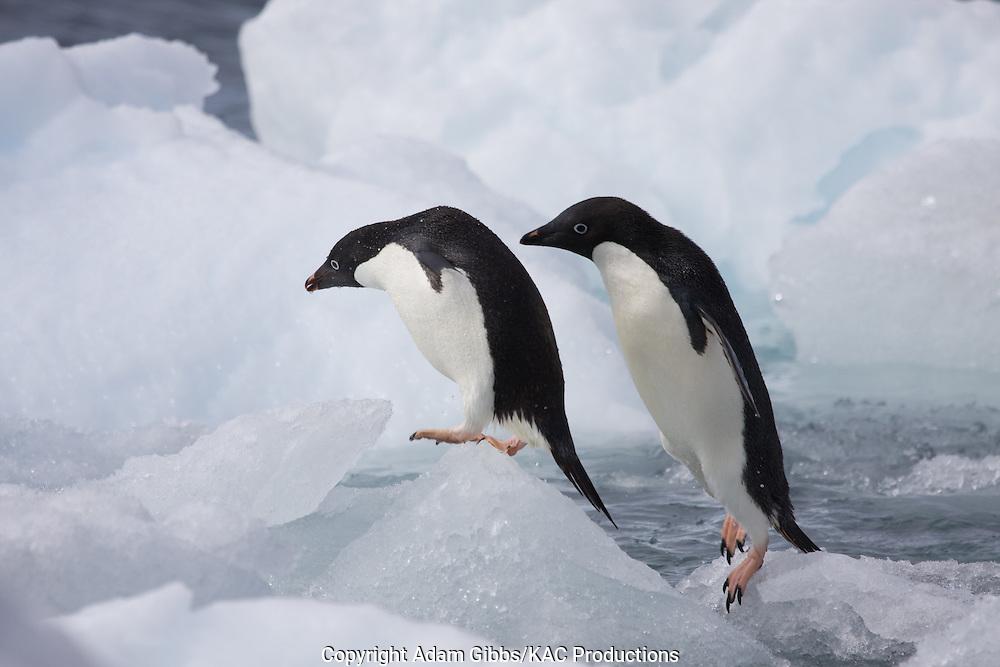 Adelie penguin, Antarctica, Pygoscelis adeliae, Paulet Island, pair on ice flows,