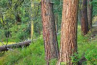Ponderosa Pines (Pinus ponderosa) Okanogan National Forest Washington USA