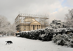 © Licensed to London News Pictures. 10/02/2012, London, UK. A dog plays in the snow in front of Chiswick House. People enjoy the snow in the grounds of Chiswick House in West London today 10 February 2012. Chiswick House, undergoing restoration,  is the first and one of the finest examples of neo-Palladian design in England.  Inspired by the architecture of ancient Rome and 16th Century Italy, the third Earl of Burlington built the house as a homage to Renaissance architect Palladio.The cold weather across the UK is set to continue over the weekend.  Photo credit : Stephen Simpson/LNP