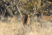 Bull elk during autumn rut in Montana
