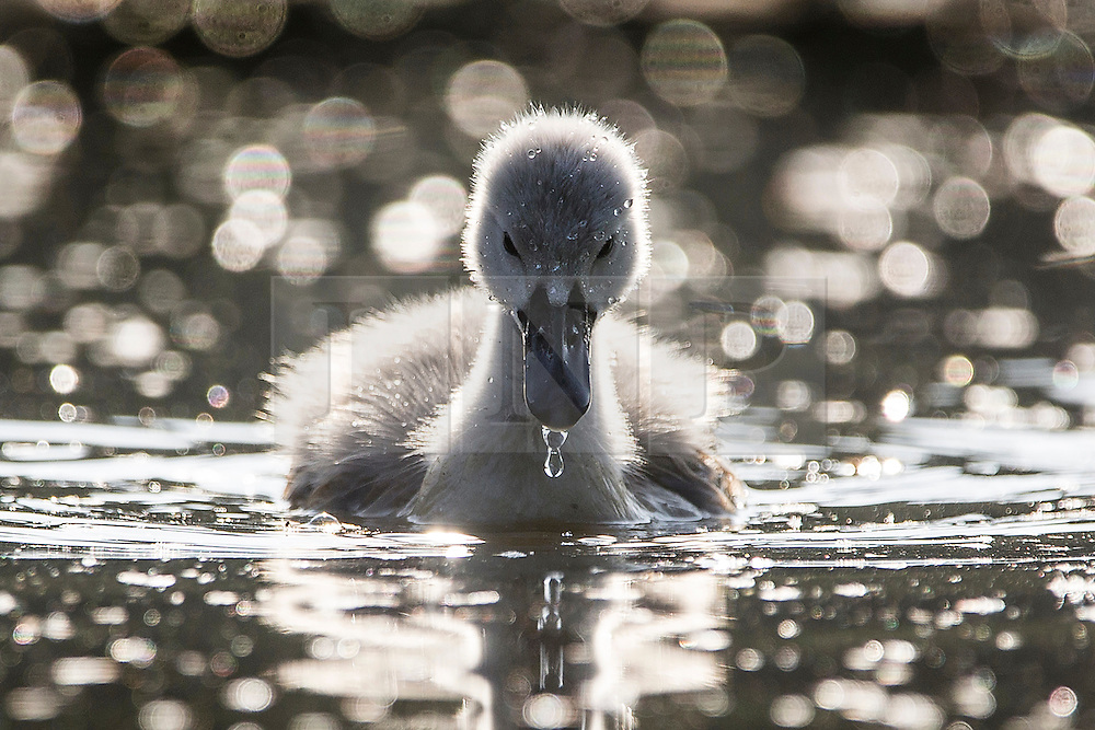 © Licensed to London News Pictures. 06/06/2016. Leeds UK. A Cygnet enjoy's the warm weather this morning at Golden Acre park in Leeds on another beautiful day in Yorkshire. Photo credit: Andrew McCaren/LNP