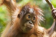Bornean Orangutan <br /> Pongo pygmaeus<br /> Two-year-old baby<br /> Tanjung Puting National Park, Indonesia