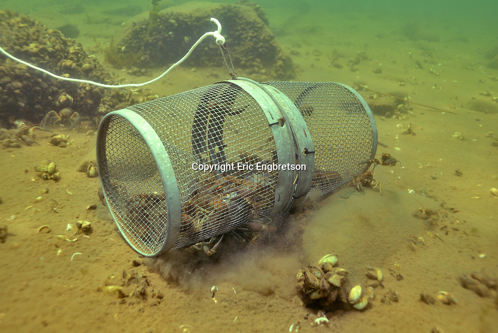 Crayfish Trap (filled with Rusty Crayfish)<br />