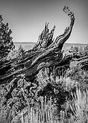 Fallen western juniper tree among lava rocks, sagebrush and rabbitbrush in the Oregon Badlands Wilderness near the city of Bend