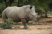 White Rhinoceros (Ceratotherium simum)<br /> Private Game Reserve<br /> SOUTH AFRICA<br /> RANGE: Southern &amp; East Africa<br /> ENDANGERED SPECIES
