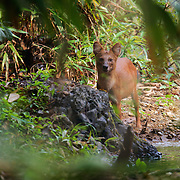 The endangered Asian Wild Dog or Dhole (Cuon alpinus) at Kaeng Krachan National Park, Thailand.