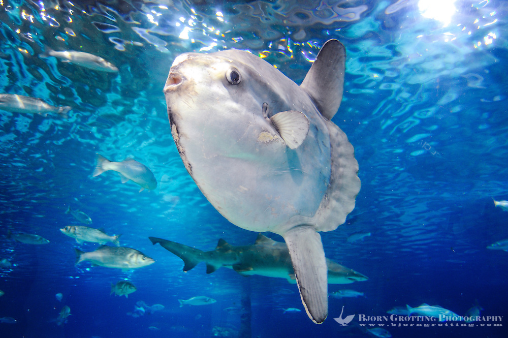 Spain, Barcelona. Aquarium Barcelona located in Port Vell. Ocean sunfish.