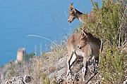 EN. Spanish Ibex (Capra pyrenaica.  Females on mountain close to the sea. Malaga, Andalucia, Spain.<br /> ES. Cabra mont&eacute;s (Capra pyrenaica). Hembras en zona de monta&ntilde;a pr&oacute;xima al mar. M&aacute;laga, Andaluc&iacute;a, Espa&ntilde;a.