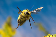 A male bumble bee (Bombus vandykei) in flight. Deschutes National Forest, Oregon.