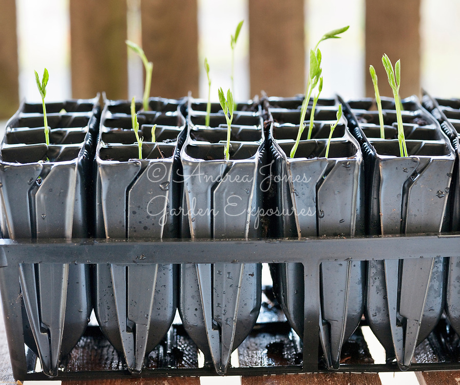 Root trainer modules with sweet pea seedlings