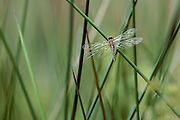A dragonfly sits on a reed - Water Valley, Mississippi
