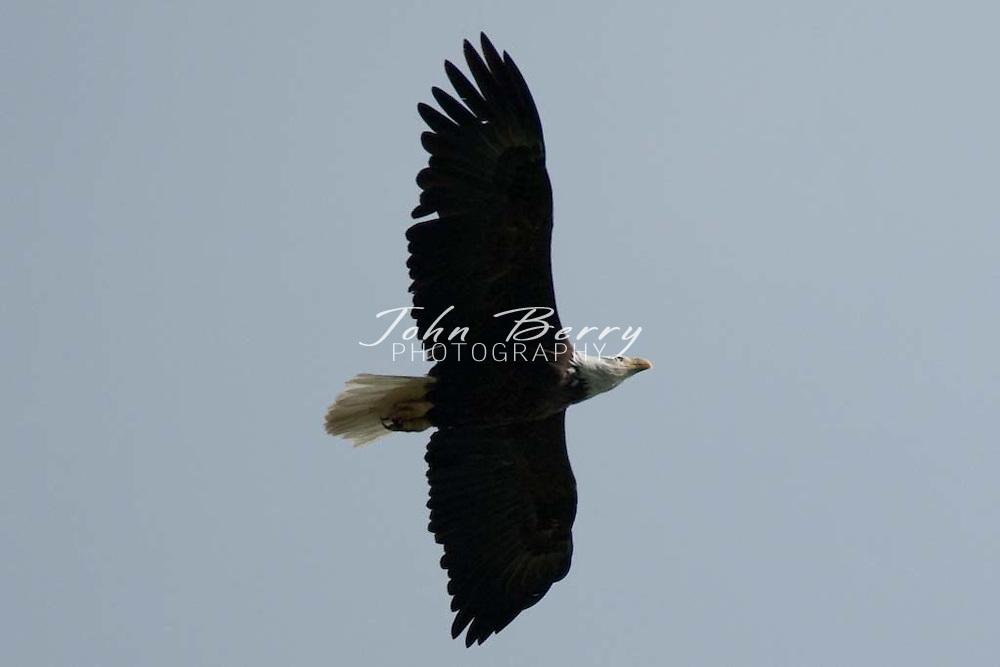 Bald Eagles, one baby eagle.5/1/2009