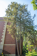 college green, Mapp Athens, summer, Tree Tour, Easxtern Hemlock