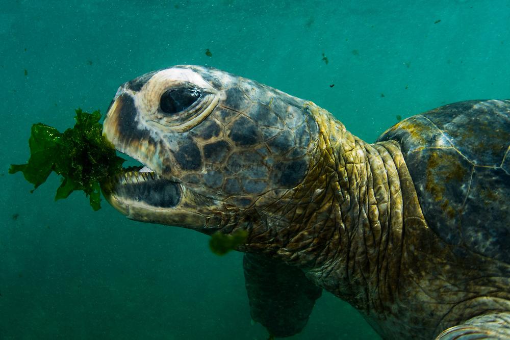 Green Turtle (Chelonia mydas agassisi)<br /> Urbina Bay, Isabela Island<br /> Galapagos<br /> Ecuador, South America
