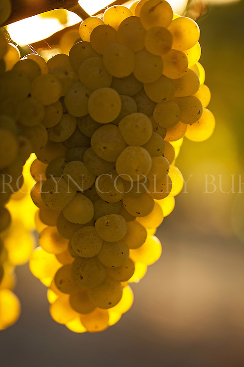 sunlit chardonnay grapes in Oakville, California Chardonnay grapes at sunset. Oakville, California. Beringer Vineyards Gamble Ranch.