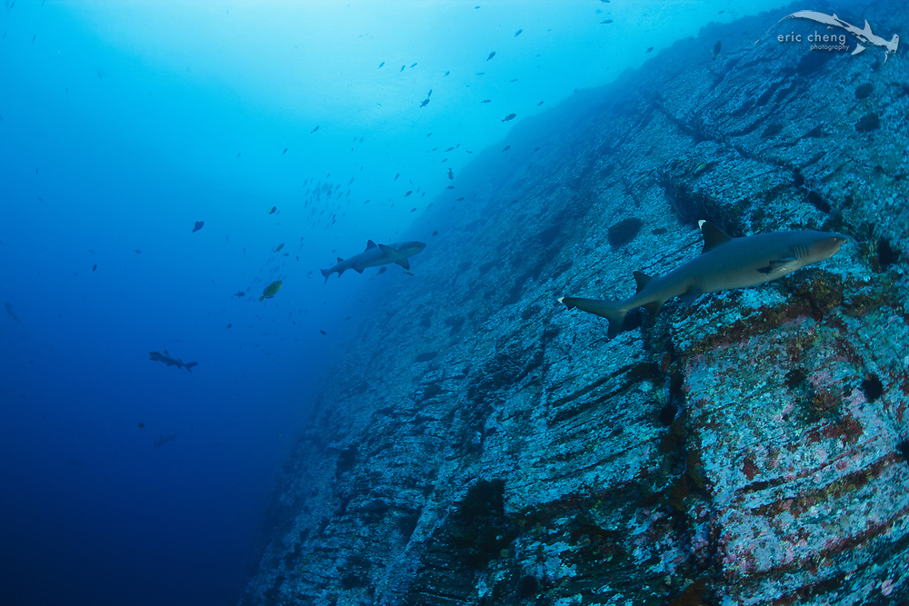 Whitetip reef sharks (Triaenodon obesus) on the sheer rock wall face of Roca Partida, Revillagigedos Islands, Mexico.