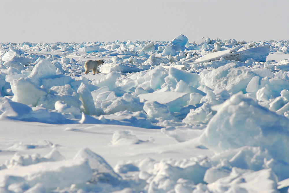Barrow, Alaska. Polar bear on the ice of the Alaska. Polar bear on the ice of the Chukchi Sea