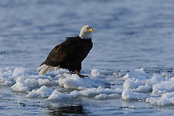 A bald eagle (Haliaeetus leucocephalus) sits on ice and scans the Chilkat River for salmon to eat in the Alaska Chilkat Bald Eagle Preserve near Haines, Alaska.