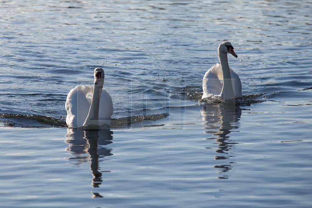 © Licensed to London News Pictures. 24/12/2014. Southsea, Hampshire, UK. Swans on Southsea Canoe Lake enjoying the sunny weather today, Christmas Eve, in Southsea, Hampshire. Photo credit : Rob Arnold/LNP