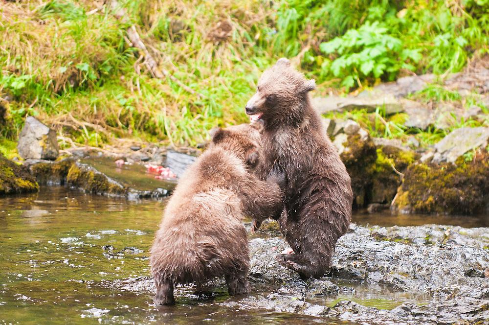 Frolicking Brown Bear cubs, Russian River, Alaska