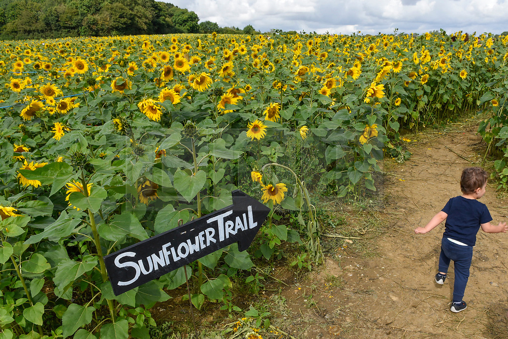 © Licensed to London News Pictures. 20/08/2019. ST ALBANS, UK.  Max, aged, 2, runs by sunflowers on a dry day at Pop-Up Farm, a family run and family friendly farm that welcomes thousands of visitors each year at a series of pop-up farming festivals.  The forecast is for the temperatures to warm up ahead of the August Bank Holiday Weekend. Pop-Up Farm is the vision of Ian and Gillian Pigott who are passionate about farming, education and the environment. The Pigott family have been farming in Hertfordshire for many generations.  (Parental permission to photograph obtained) Photo credit: Stephen Chung/LNP