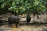 Collared Peccary (Pecari tajacu)<br /> Yasuni National Park, Amazon Rainforest<br /> ECUADOR. South America<br /> HABITAT & RANGE: Sub-tropics and tropics of southern USA to northern Argentina.