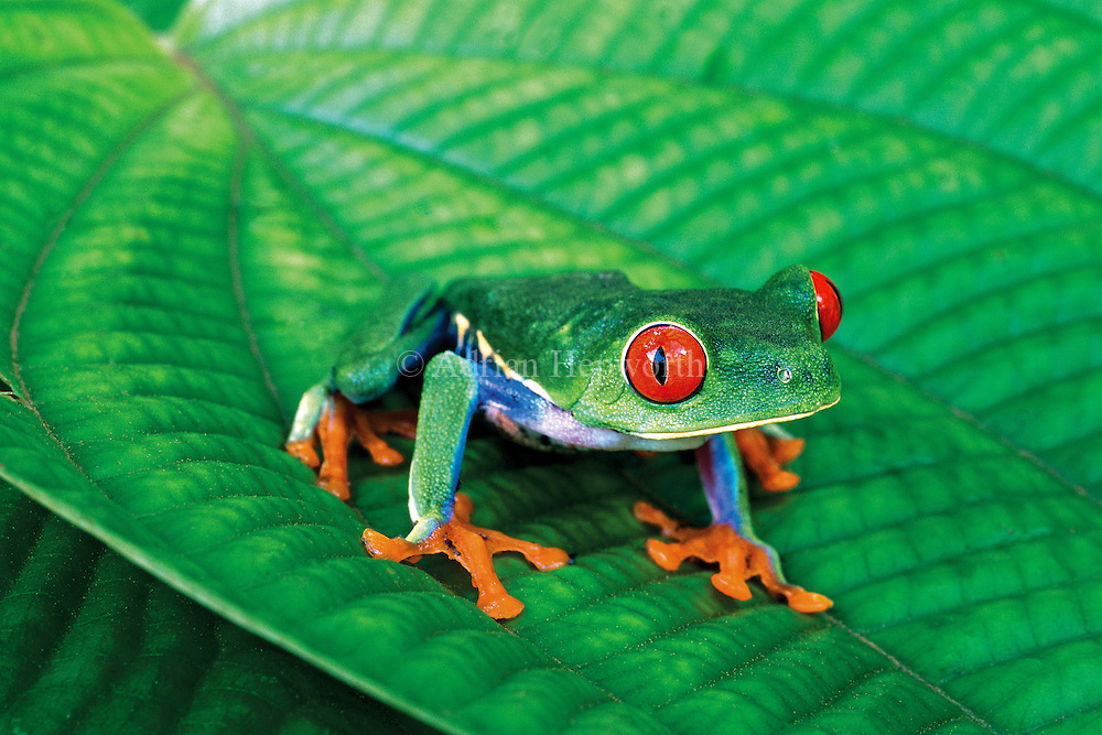 The Red-eyed Tree Frog is possibly the most sought-after and photographed amphibian in the world and it only lives in lowland rainforests of Central America. I photographed this individual in Tortuguero National Park on the Caribbean coast of Costa Rica. The vibrant colors that have made this species so famous startle potential predators and also warn them of the frog&acirc;€™s mild toxicity.<br />