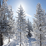 The sun shines behind fir trees laden with snow