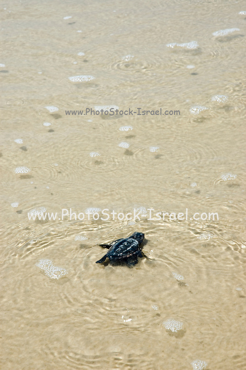 Israel, beach, Chelonia mydas, green turtle after hatching on their maiden voyage to the Mediterranean Sea September 2007.
