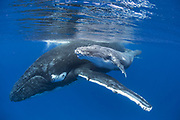 Humpback Whale<br /> Megaptera novaeangliae<br /> Mother with 4-5 day old calf<br /> Tonga, South Pacific