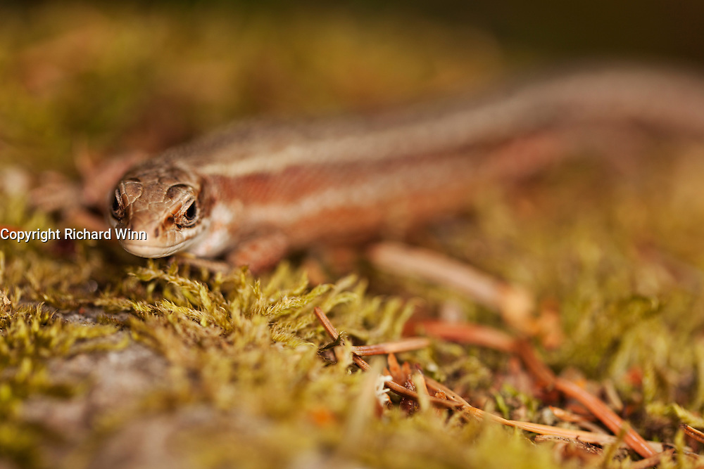 Front three-quarter view of a female common lizard, with selective focus, on a moss covered rock.