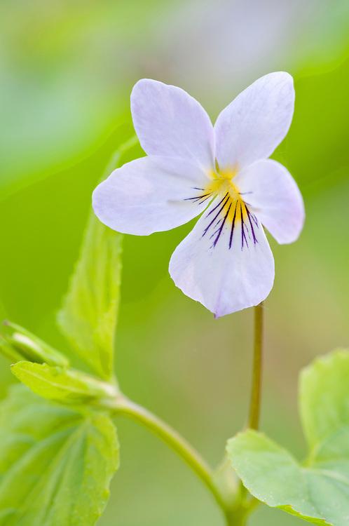 Canada Violet, Viola canadensis, Pictured Rocks, Grand Marais, Michigan