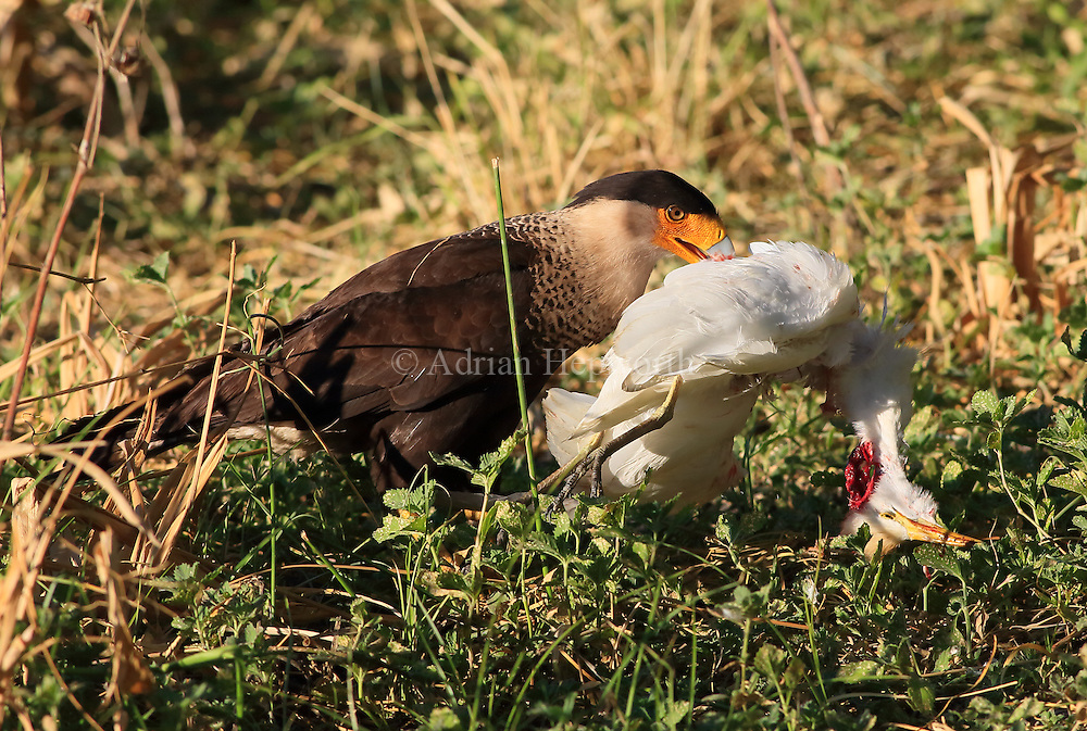 Crested Caracara (Caracara cheriway) carrying dead juvenile Great Egret (Ardea alba) near lagoon in Palo Verde National Park, Guanacaste, Co<br />