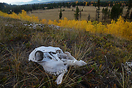 Elk skull on a bench above Big Prairie in Glacier National Park in fall. North Fork Flathead River Valley, northwest Montana.