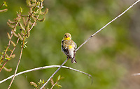 An Immature American Goldfinch male perched on a branch next to the willow seeds it has been eating.