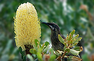 Red wattlebird on banksia, Kings Park, Perth, Western Australia