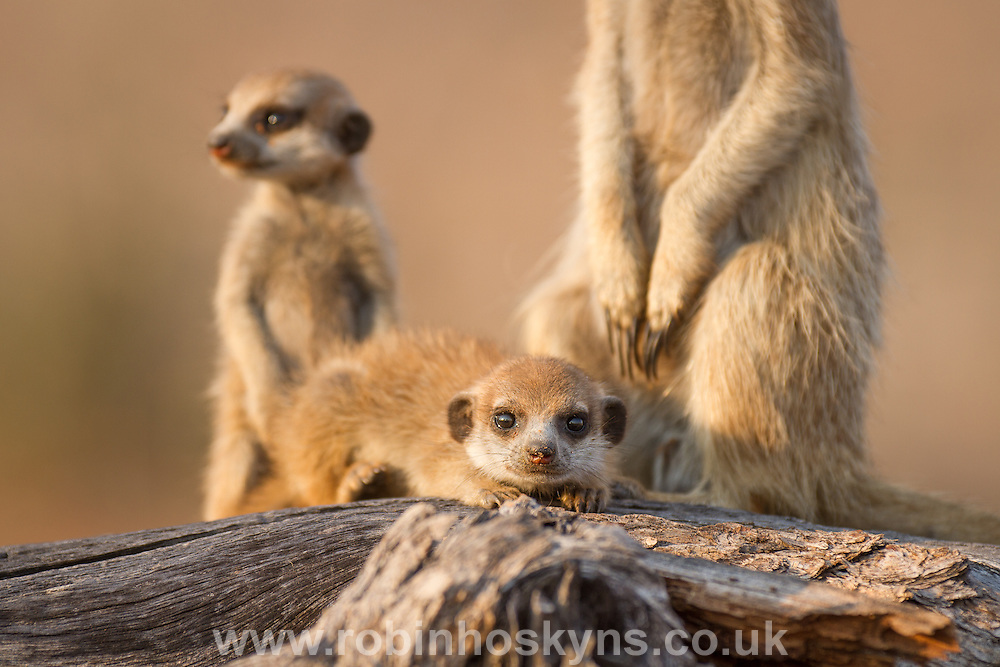 Young pups with babysitter adult on a dead tree. Meerkat babysitting pups
