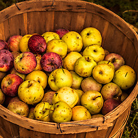 Bushell basket of red and yellow, spotted windfall apples