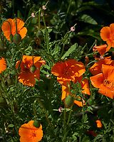 California Poppy. Image taken with a Leica CL camera and 60 mm f/2.8 lens.
