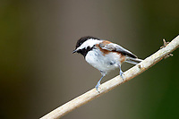 Chestnut-backed Chickadee (Poecile rufescens), Gabriola, British Columbia, Canada   Photo: Peter Llewellyn
