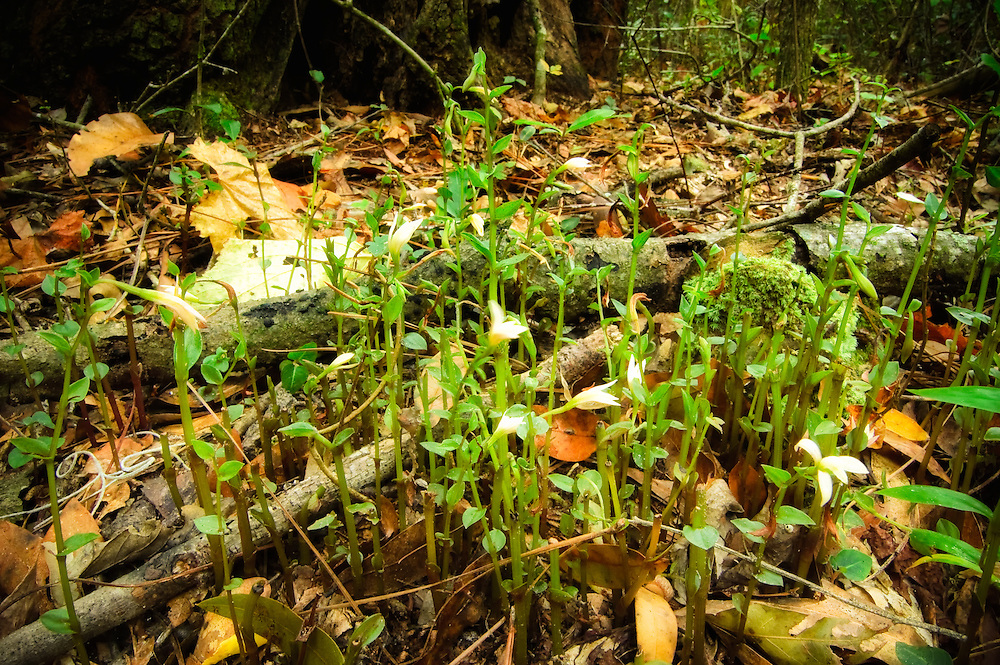 A colony of three birds orchids accidentally stumbled into in a dense forest in Suwannee County, Florida.
