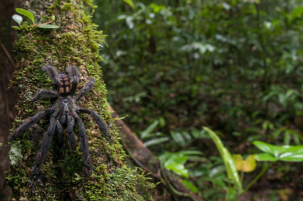 A Venezuelan suntiger (Psalmopoeus irminia) on the side of a rainforest tree. Surama, Guyana.