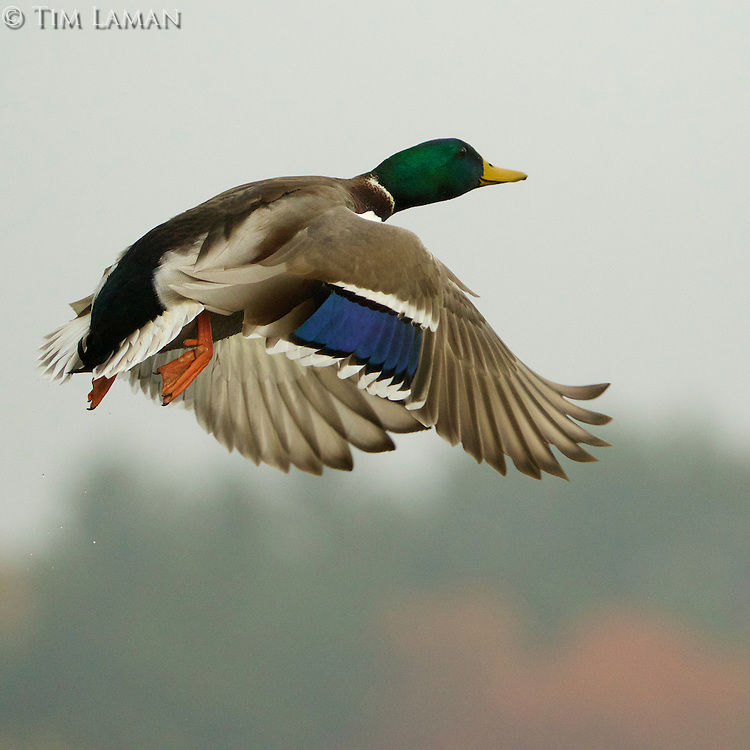 Male Mallard duck taking off