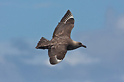 also known as a Brown Skua