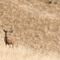 mule deer buck in grass on hillside flemming
